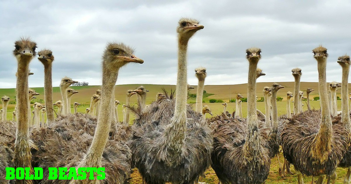 Bold Beasts: 5 Ostrich Facts